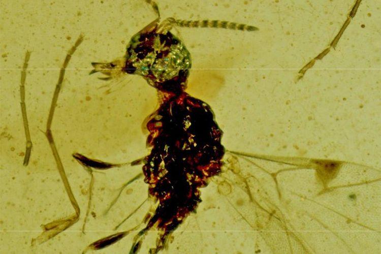 Tawon purba ini memiliki mulut menonjol dengan rahang runcing mirip drakula