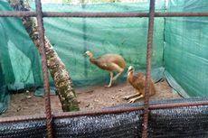 8 Kasuari Sitaan di Surabaya Dilepasliarkan di Hutan Iwawa Mimika