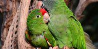 Ingin Pelihara Lovebirds? Perhatikan Beberapa Hal Ini
