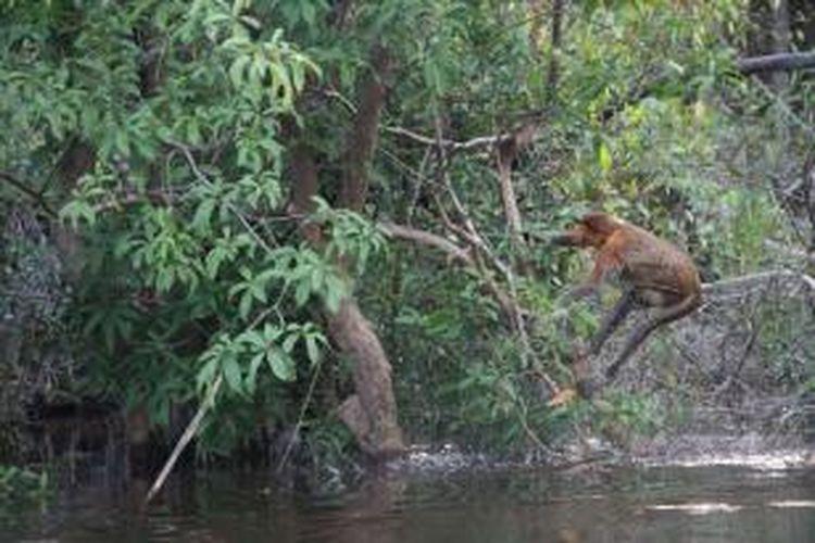 Bekantan (Nasalis larvatus), salah satu satwa endemik Kalimantan yang dapat dijumpai di Desa Melemba, selain orangutan jenis Pongo pygmaeus-pygmaeus.