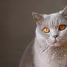 Ketahui, Ini Ciri-ciri Kucing Diare