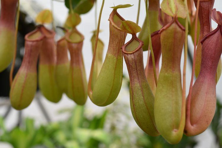 Ilustrasi tanaman Nepenthes atau kantong semar.