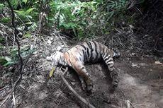 Induk Harimau Sumatera dan 2 Anaknya Ditemukan Mati Terjerat di Kawasan Hutan Lindung Aceh