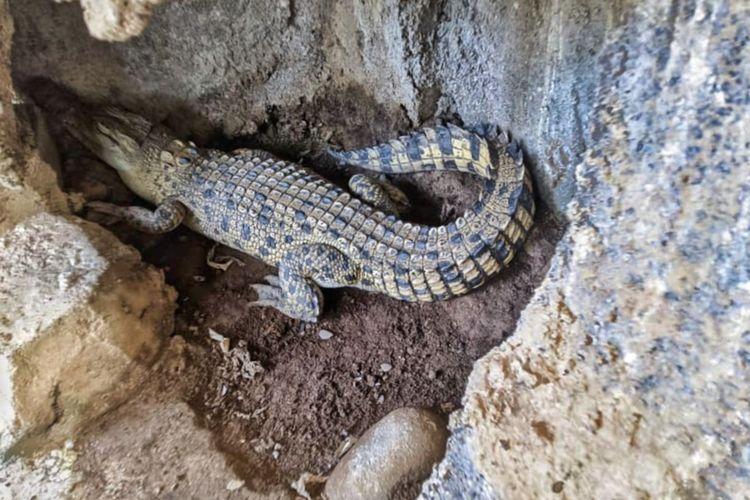Buaya muara (crocodylus porosus) yang tertangkap di perairan Waduk Mrican atau Bendungan Panglima Besar Jenderal Sudirman, Banjarnegara, Jawa Tengah menjadi koleksi Taman Rekreasi Margasatwa Serulingmas (TRMS), Jumat (11/12/2020).