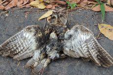 Para Pemandu Resah Maraknya Perburuan Burung Endemik Flores