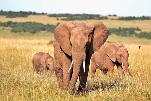 Gajah di India Diuji Covid-19 Setelah Kematian Singa Asia akibat Corona