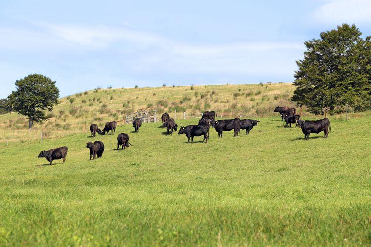 Ilustrasi sapi hitam di Yamagata, Jepang.