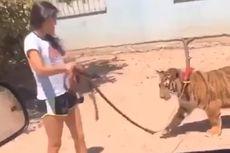 Gadis Cilik Jalan-jalan bareng Harimau Benggala, Mengaku Punya 2 di Rumah