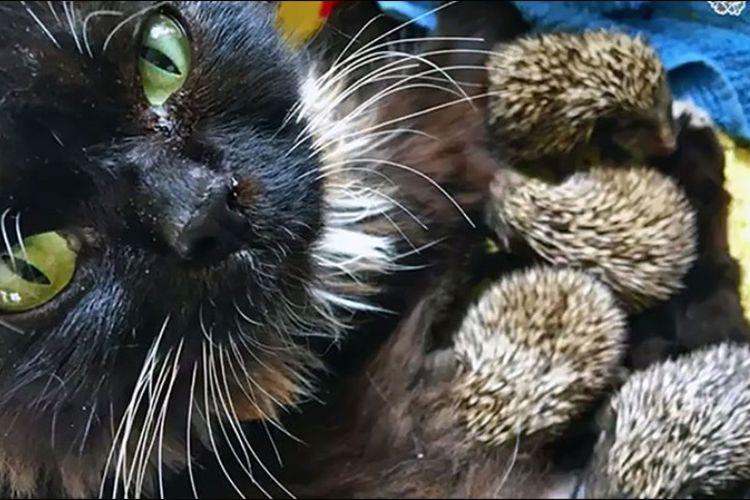 Muska, seekor kucing, menyusui delapan ekor anak landak yang induknya mati.