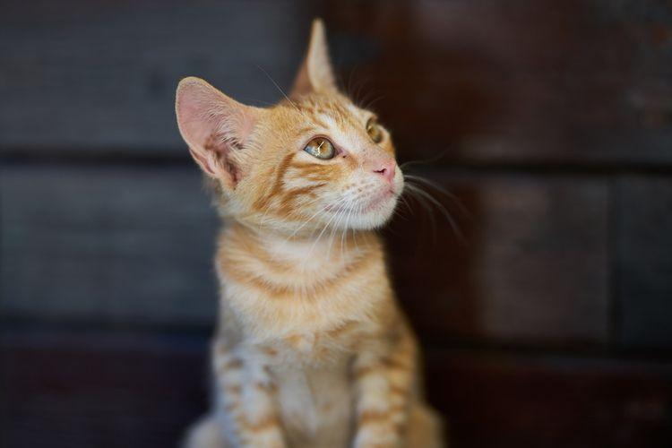 Membersihkan telinga kucing mungkin diperlukan, terutama ketika kucing memiliki masalah di telinganya seperti infeksi.