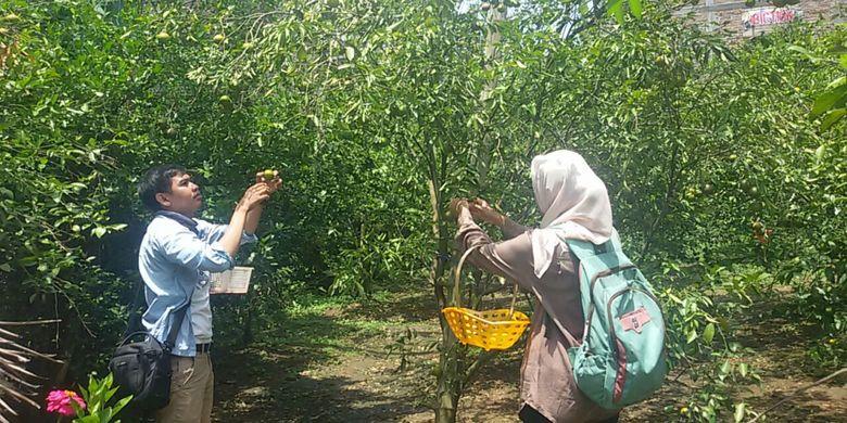 Pengunjung datang ke kebun jeruk milik Maiful Hadi untuk memetik buah jeruk langsung dari pohonnya di Ponorogo, Jatim, Rabu (28/3/2018).