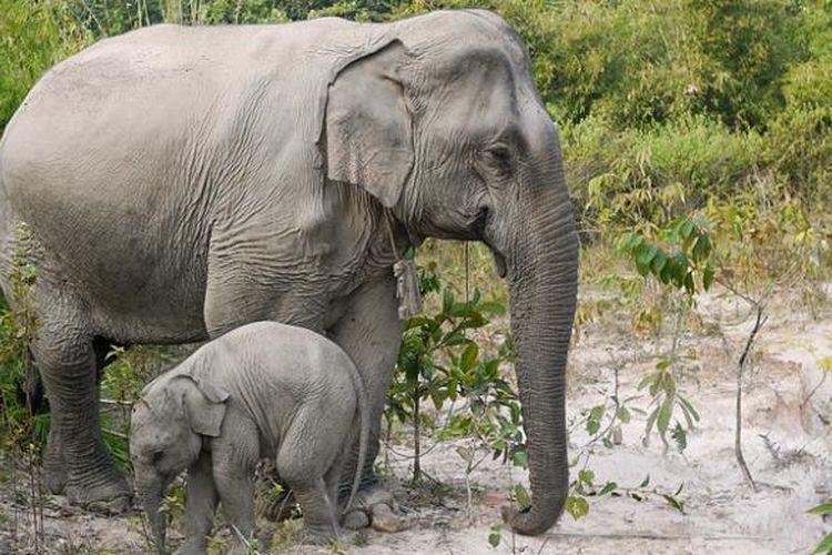 Hewan Juga Berhitung Gajah Asia Salah Satu Juaranya Halaman All