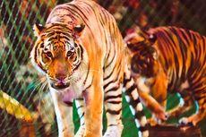 Harimau Kelaparan Berkeliaran di Desa di Jambi, BKSDA Minta Warga Waspada