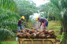 Sepanjang 2020, Produksi Kelapa Sawit Capai 51,58 Juta Ton