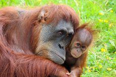 4 Tempat di Kaltim yang Jadi Idaman Wisman Lihat Orangutan