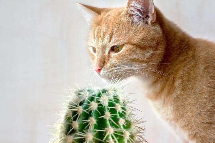 Ilustrasi kucing mengendus kaktus. Kaktus adalah salah satu tanaman yang berbahaya bagi kucing.