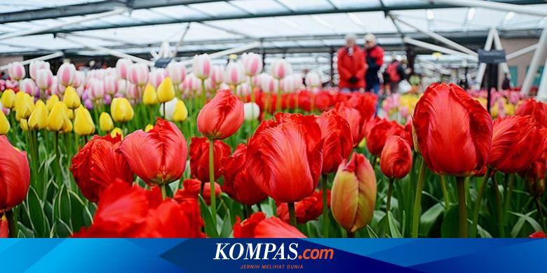 Pencinta Bunga Kini Bisa Nikmati Tulip Mekar Di Keukenhof Belanda Secara Virtual Halaman All Kompas Com