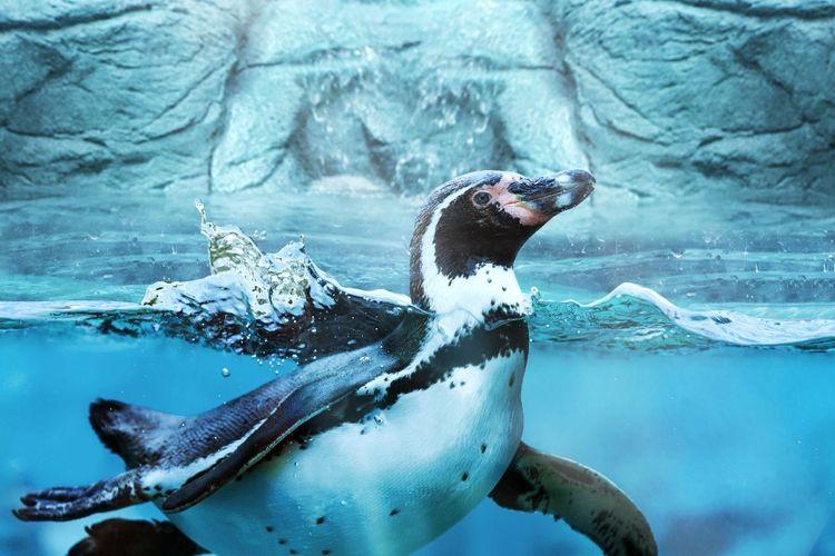 Salah satu satwa akuatik yang ada di Jakarta Aquarium, Jakarta.
