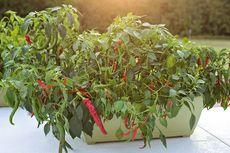 6 Tanaman Sayuran Ini Cocok Ditanam di Pot, Apa Saja?