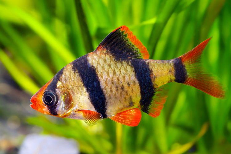 Ikan elang atau Tiger Barb Fish. Ikan hias ini sedang gencar diburu, karena harga jualnya yang menggiurkan.