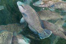 Napoleon, Ikan Langka yang Masih Diburu di Perairan Derawan
