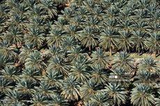 Arab Saudi Larang Penanaman Pohon Palem di Seluruh Wilayah Kerajaan, Kenapa?