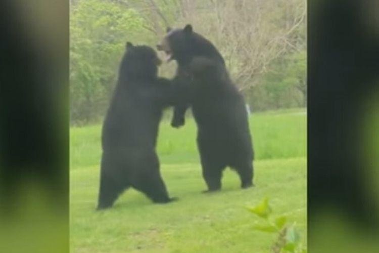 Tangkapan layar rekaman perkelahian dua ekor beruang hitam di pekarangan rumah warga di New Jersey.