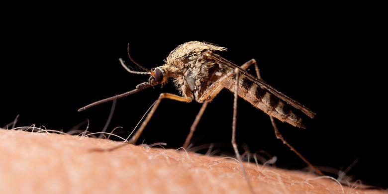Nyamuk Culex pipiens atau nyamuk rumah utara, paling banyak hidup di wilayah utara Bumi.