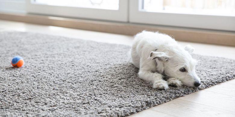 Seekor anjing bersantai di atas karpet.