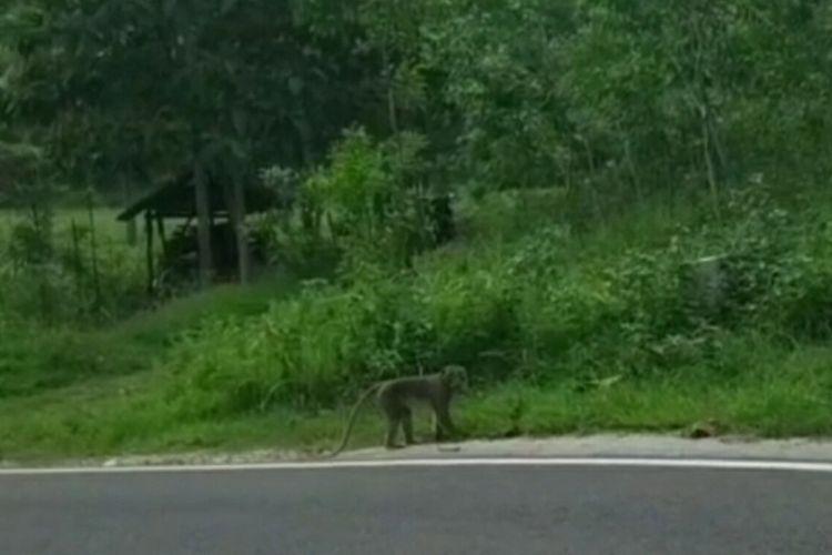Monyet Ekor Panjang Saat Menyebrang Jalan di Kalurahan Kemadang Kapanewon Tanjungsari, Gunungkidul beberapa waktu lalu