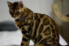 8 Ras Kucing Termahal di Dunia