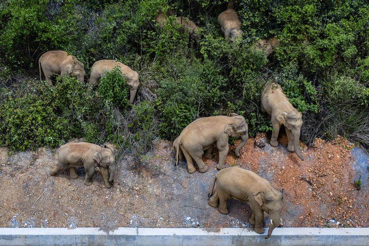 Dalam foto udara yang dirilis oleh Kantor Berita Xinhua China, sekawanan gajah Asia liar berdiri di daerah E'shan di Provinsi Yunnan, China barat daya, Jumat, 28 Mei 2021.