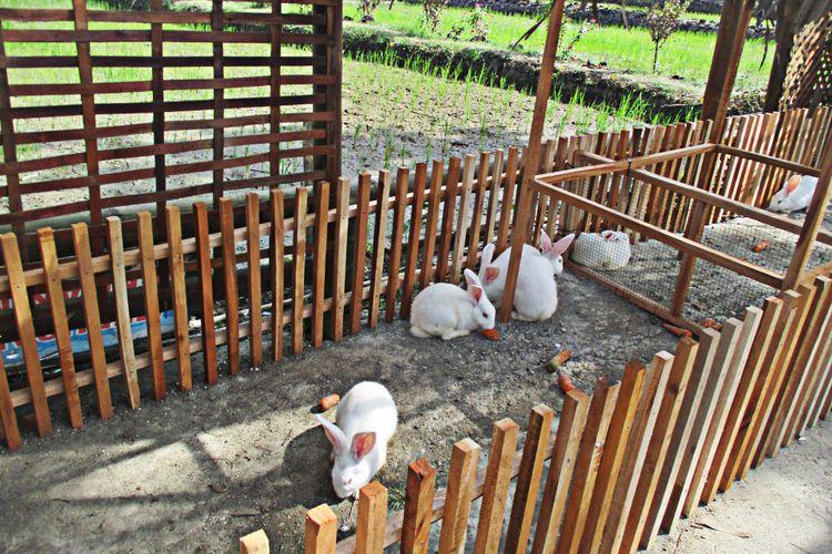 Memberi Makan Kelinci di Bulak Widoro