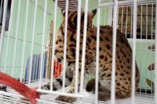 Kucing Hutan Langka Masuk ke Kamar Tidur Warga di Agam