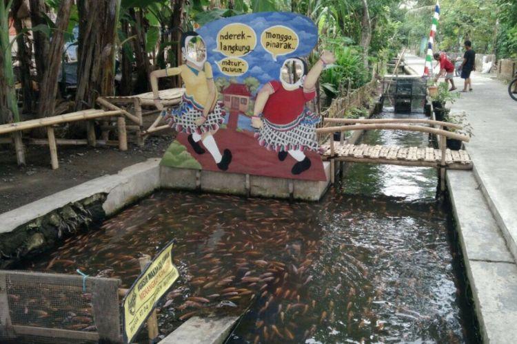 Ribuan Ikan di saluran Irigasi dusun Singosaren, Imogiri, Bantul