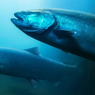 Bagaimana Salmon Bermigrasi?