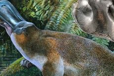 Ilmuwan Australia Temukan Fosil Platipus Raksasa