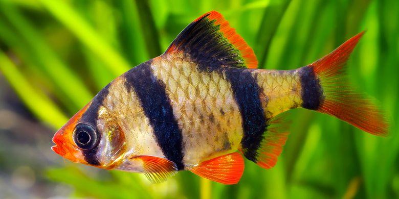 Mengenal Ikan Elang atau Tiger Fish yang Diburu karena Harga Jual Tinggi  Halaman all - Kompas.com