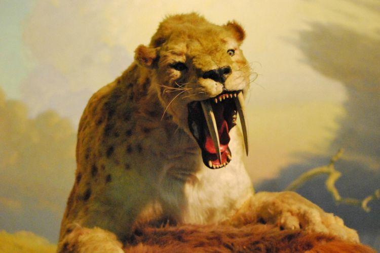 Sebuah penelitian yang dilakukan Vanderbilt University, Tennessee, Amerika Serikat hewan karnivora seperti kucing Saber-toothed mungkin saja dapat terluka di bagian mulut mereka. Ini terbukti ketika mereka kerusakan pada gigi dari fosil kucing besar ini.
