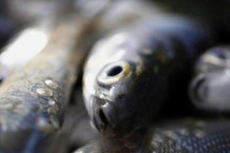 Ikan Bandeng.