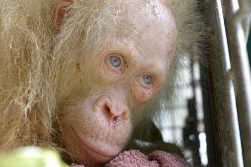 Inilah Nama Baru untuk Orangutan Albino dari Kalimantan