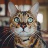 Simak, 5 Penyebab Kucing Bertingkah Hiperaktif