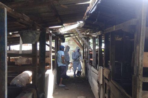 Kasus Hog Cholera pada Babi, Peternak Merugi Ratusan Juta Rupiah