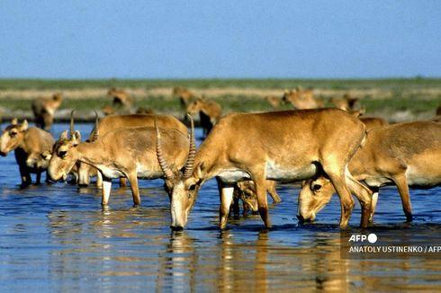 350 Antelop Langka Tewas karena Petir di Kazakhstan