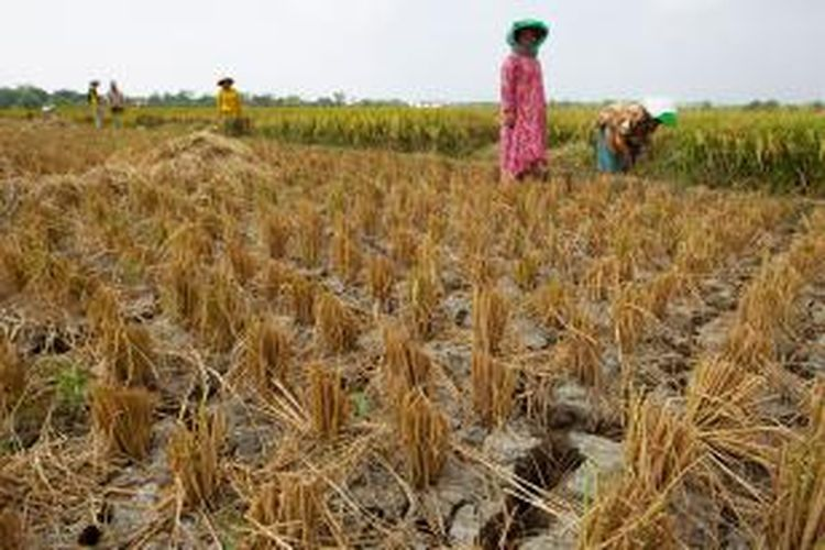 Haji Sundari tengah berdiri di tengah lahan sawah tanaman padi miliknya di Desa Panyindangan, Kecamatan Sindang, Kabupaten Indramayu, Jawa Barat. Tanaman padinya rusak parah saat dipanen pada Minggu (16/8/2015).
