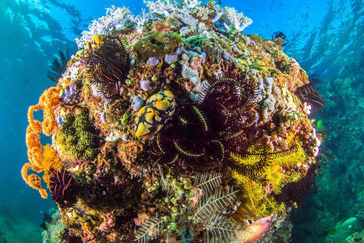 Koral warna-warni di Anilao, Batangas, Filipina