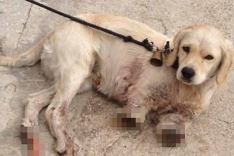 Pamuk, seekor anjing jenis golden retriever berusia tiga tahun yang harus mendapatkan perawatan intensif setelah dua kakinya diamputasi oleh si pemilik, buntut diserang tetangga karena disangka menganggu ayam.