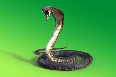 Musim Telur Kobra Menetas, Apa yang Harus Dilakukan Saat Melihat Ular?