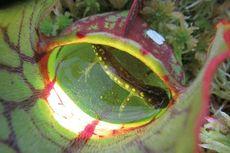 Ahli Temukan Tanaman Langka Pemakan Salamander di Kanada
