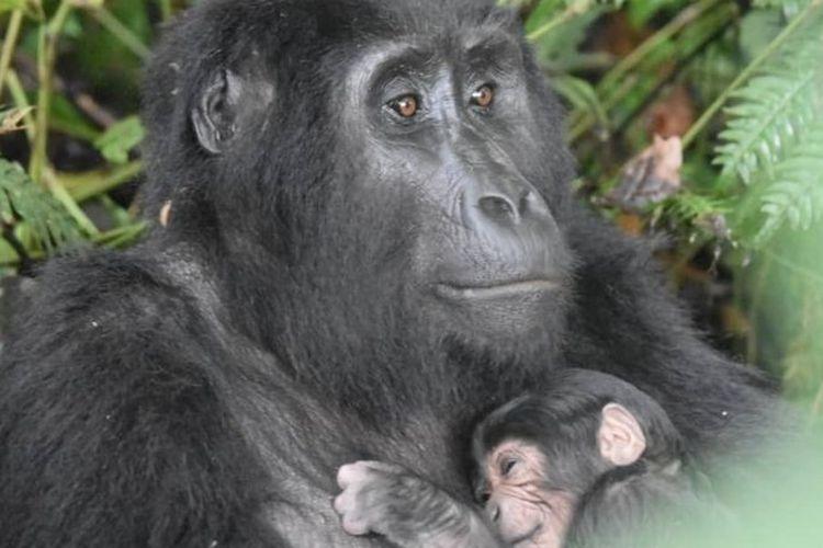 Gorila Ruterana baru melahirkan, anaknya tercatat sebagai bayi kelima dalam enam pekan di keluarga besarnya di Taman Nasional Bwindi, Uganda.